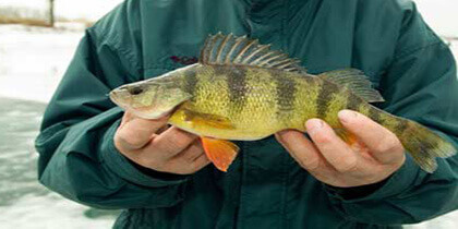 How to Catch Perch: Full Fishing Tips